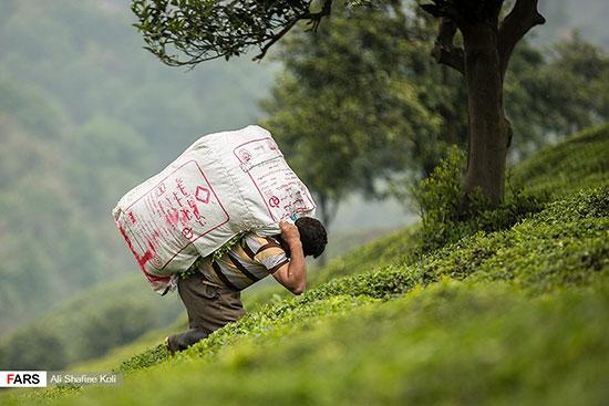 برداشت چای سبز لاهیجان و خواص چای سبز